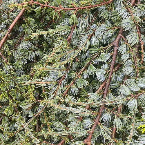 Fresh Blue Atlas Cedar Bunches