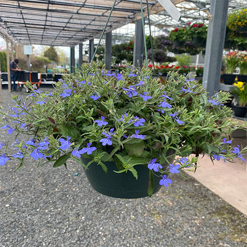 Lobelia Hanging Baskets