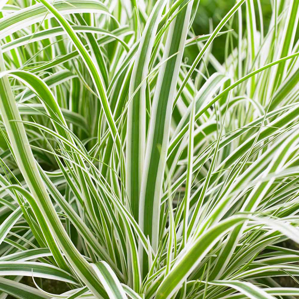 Carex (Sedge)