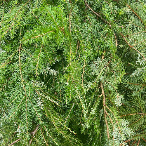 Fresh Douglas Fir Bunches
