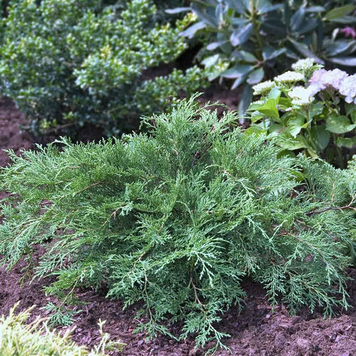 Drew's Blue™ Siberian Carpet Cypress