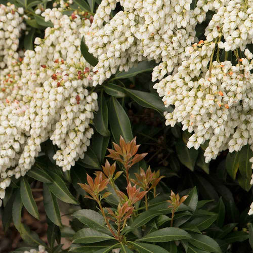 Enchanted Forest® River Nymph™ Lily of the Valley Shrub