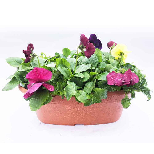 Pansy Oval Bowls