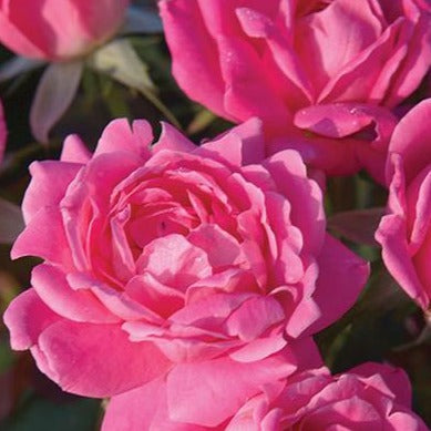 The Knock Out® Roses