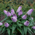 Proven Winners® Butterfly Bush (PRE-ORDER)