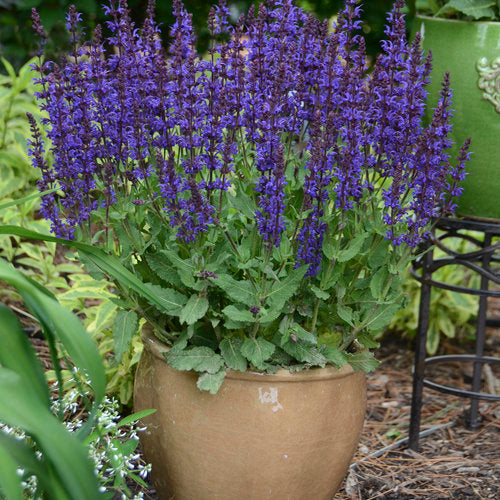 Proven Winners® Color Spires® Salvia