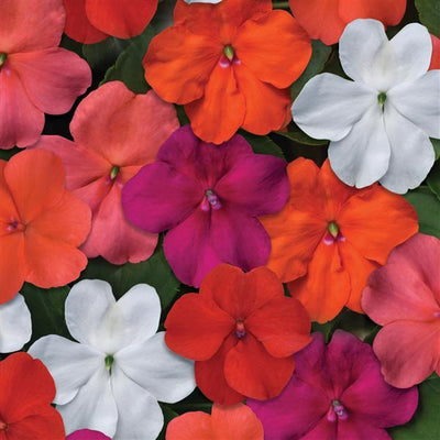Bedding Impatiens