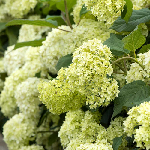 Proven Winners® Smooth Hydrangea (PRE-ORDER)