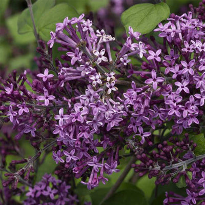 Proven Winners® Lilac (PRE-ORDER)