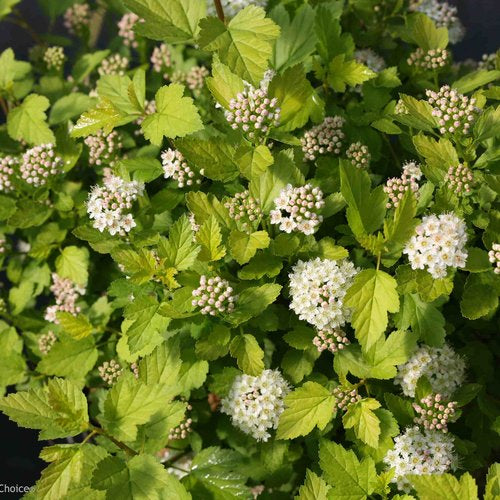 Proven Winners® Physocarpus