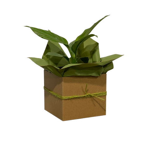 Peace Lily Plant - Gift Wrapped