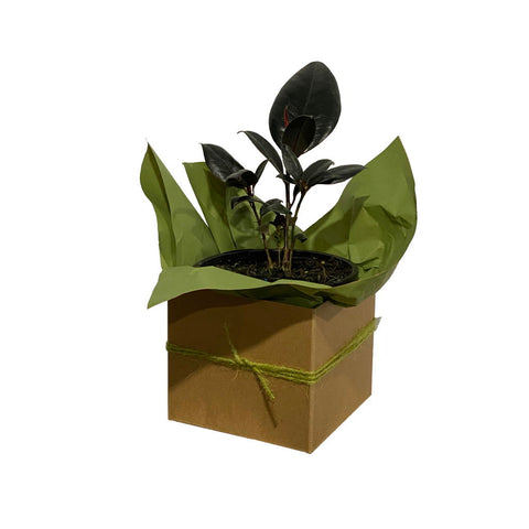 Rubber Plant - Gift Wrapped