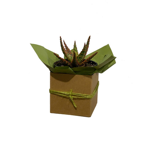 Small Succulent - Gift Wrapped
