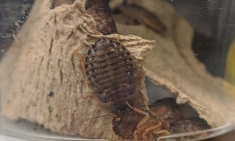 🐛LIVE DUBIA ROACHES