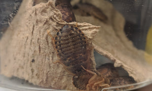 12 Live Dubia Roaches