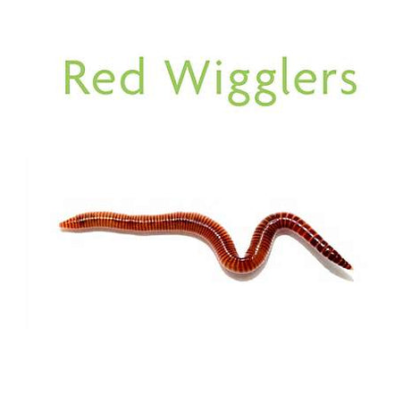 🐛LIVE NIGHT CRAWLERS & RED WIGGLERS FOR FOOD AND FISHING