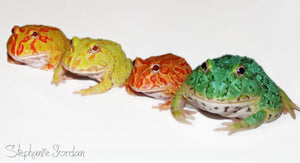 APRICOT, STRAWBERRY AND PEPPERMINT PACMAN FROG