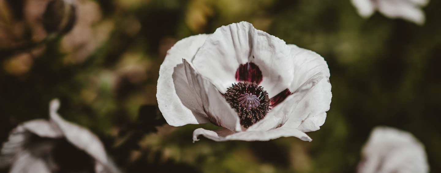 coquelicot blanc signification
