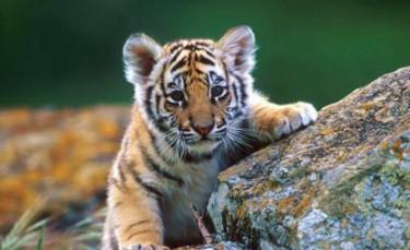 Super Cute Tiger Baby