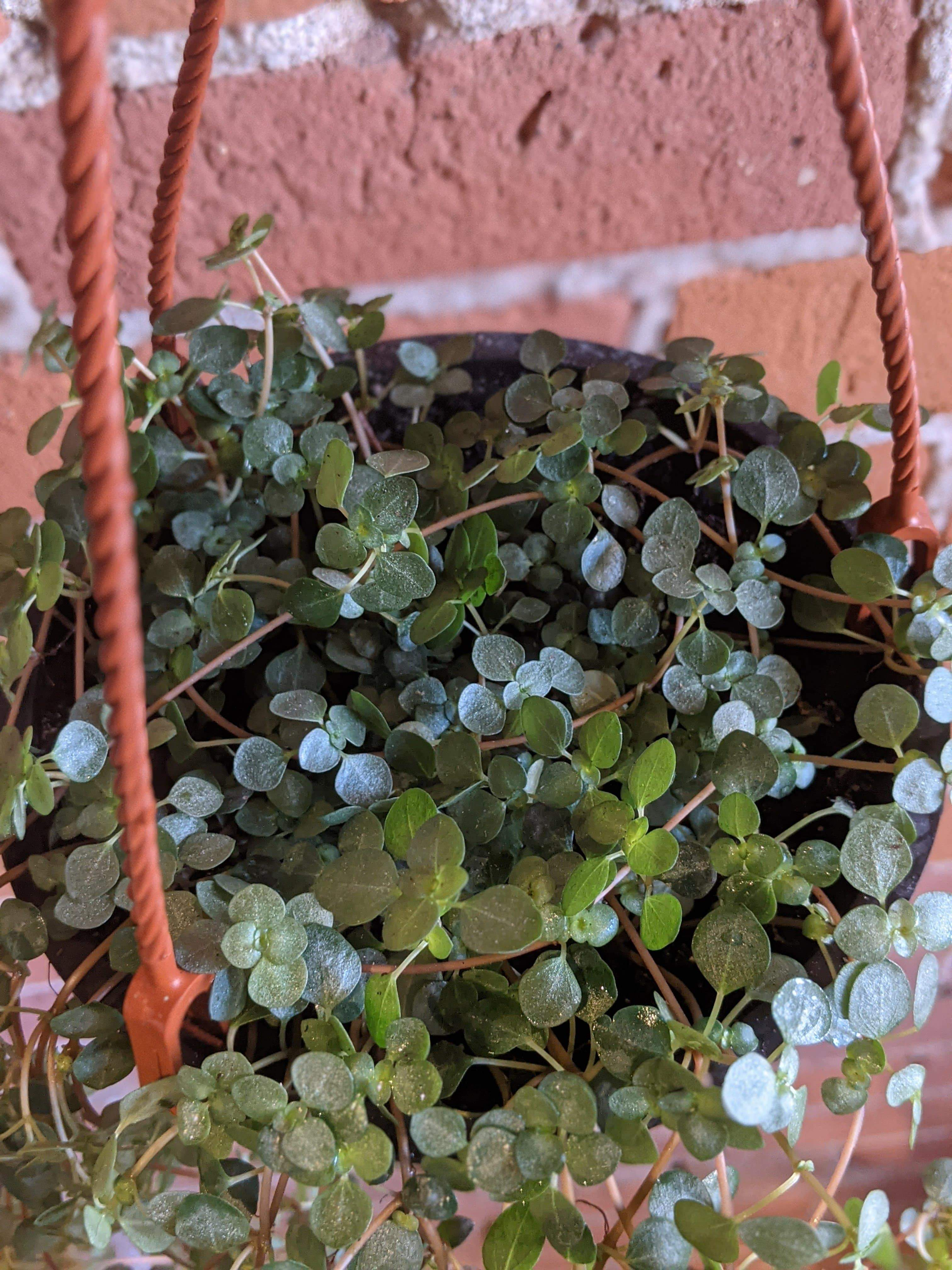 "Plant Goals Plant Shop 6"" Pilea Aquamarine Hanging Basket"