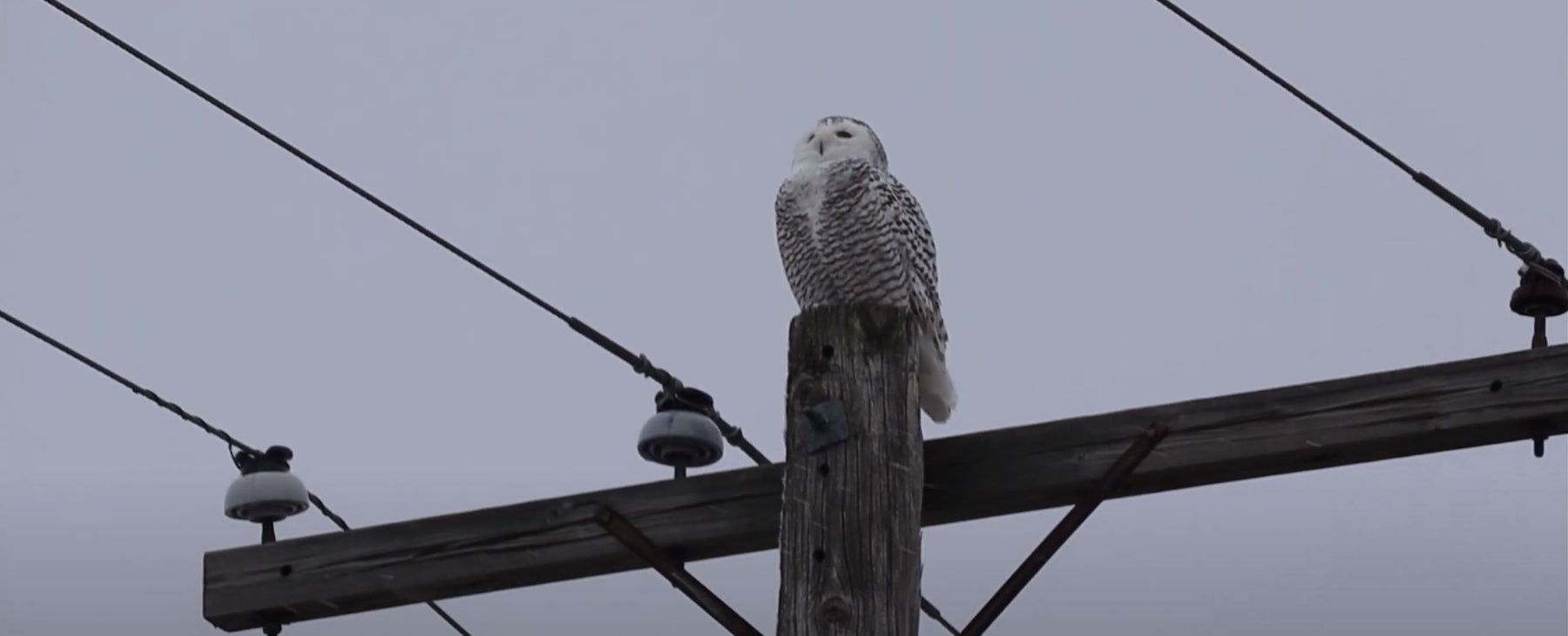 Winter Visitors - Snowy Owls