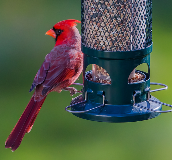 Cardinal on squirrel buster bird feeder
