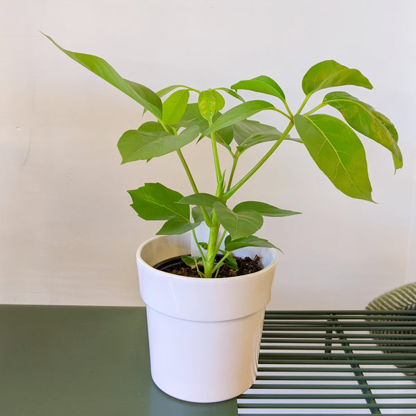Schefflera Amate with ceramic pot