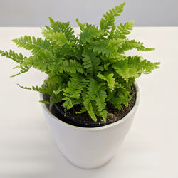 Mini Boston Fern with Ceramic Pot