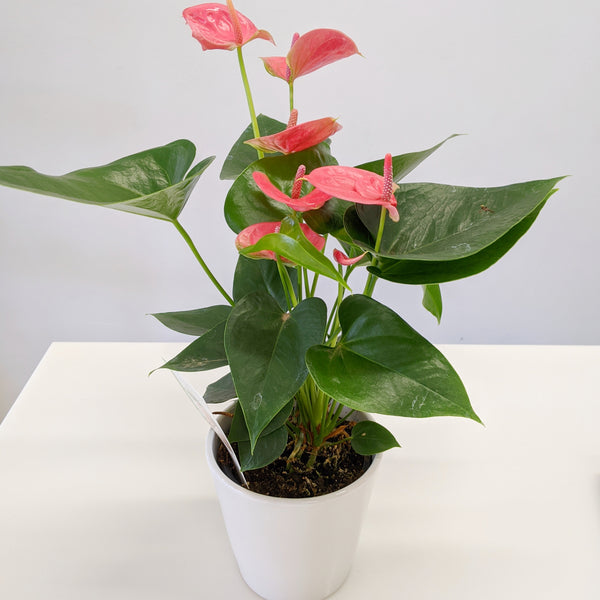 Anthurium Rainbow Champ with ceramic pot