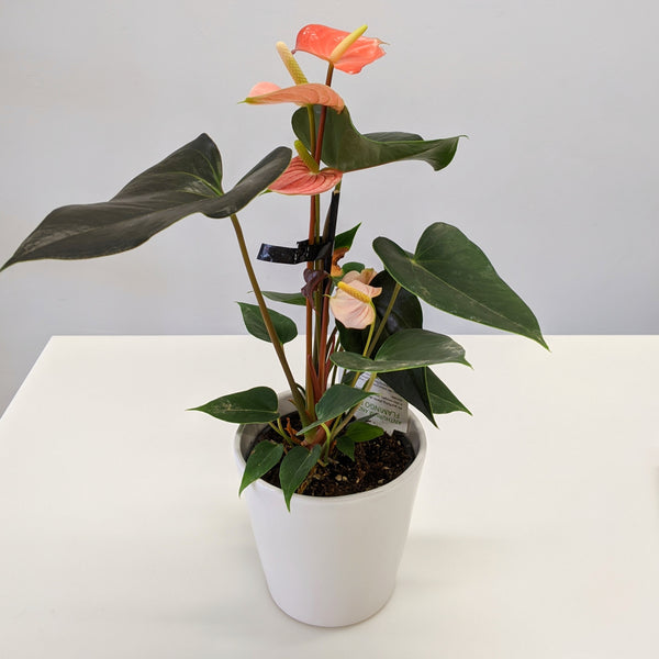 Anthurium Sweet Dream with ceramic pot