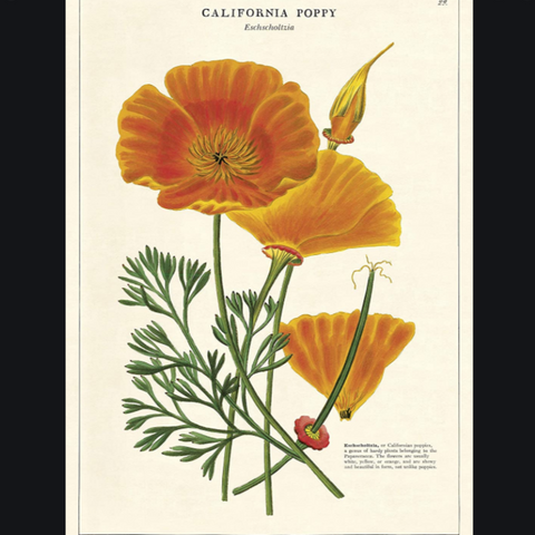California Poppy Eschscholtzia Card - CPC - Steel Petal Press