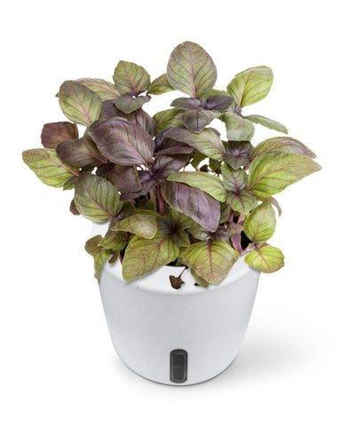 Can You Grow Basil Indoors? [A Simple Guide for 2020]