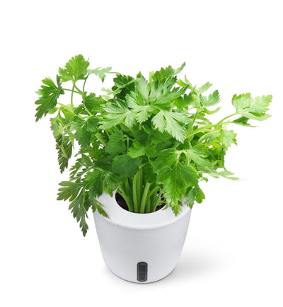 Can You Grow Cilantro Indoors? [A Simple Guide for 2020]