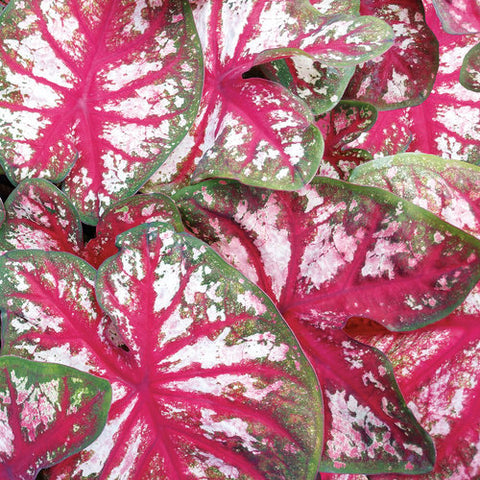 Heart to Heart™ 'Bottle Rocket' Caladium hortulanum