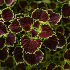 Coleus Wedding Train (Trailing)