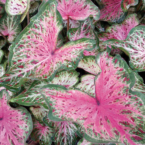 Heart to Heart™ 'Heart and Soul' Caladium hortulanum