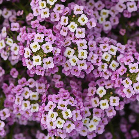 Easy Breezy™ Pink Lobularia