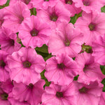 Supertunia® Mini Vista™ Hot Pink