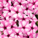 Supertunia® Mini Vista™ Pink Star