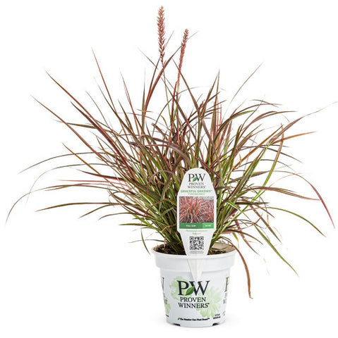 Graceful Grasses® 'Fireworks' Variegated Red Fountain Grass Pennisetum setaceum 'Rubrum'