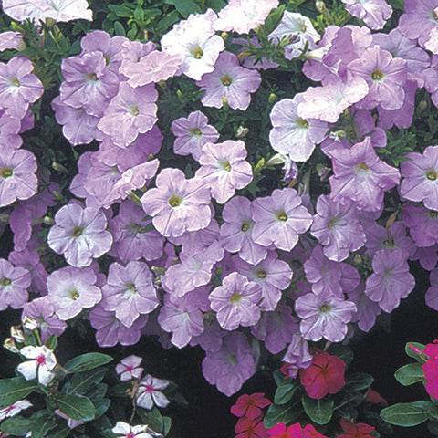 Wave® Misty Lilac Spreading Petunia