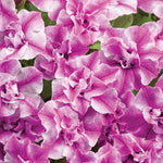 Supertunia® Sharon Double Petunia Petunia hybrid