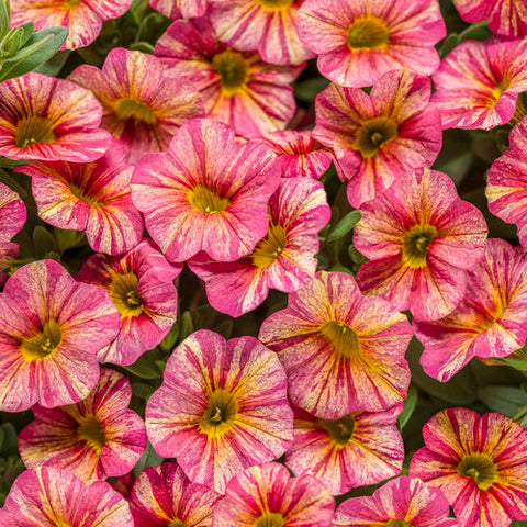 Superbells® Tropical Sunrise Calibrachoa hybrid
