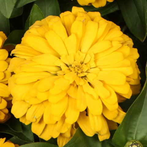 Sweet Tooth Lemonhead Zinnia