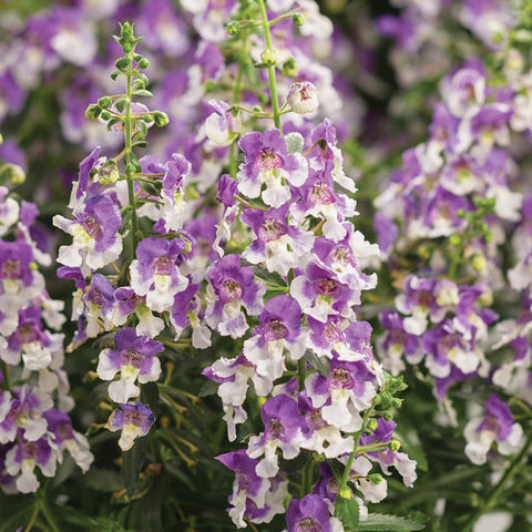 Angelface® Wedgwood Blue Summer Snapdragon Angelonia hybrid