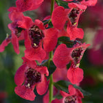 Archangel™ Cherry Red Angelonia