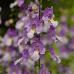 Archangel™ Blue Bicolor Angelonia