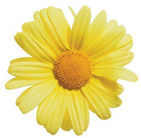 Golden Butterfly® Marguerite Daisy Argyranthemum frutescens