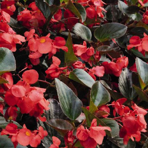 Whopper® Red With Bronze Leaf Improved Begonia