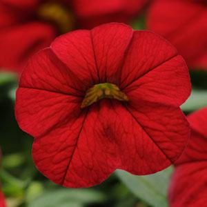 Cabaret® Bright Red Calibrachoa